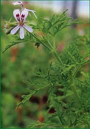 geranium-odorant-2